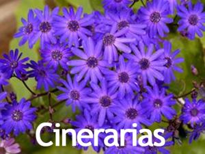 Cinerarias