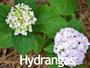 Hydrangas